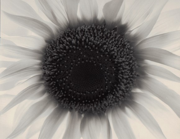 Sunflower, Winthrop, MA, 1965